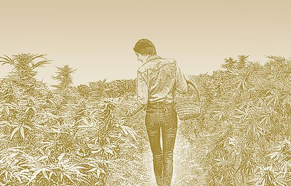 farmer harvesting hemp plants