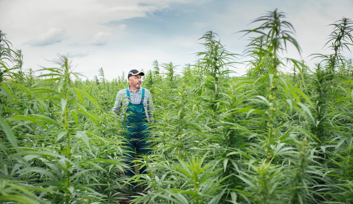 Growing Hemp Crops for Better Sustainability