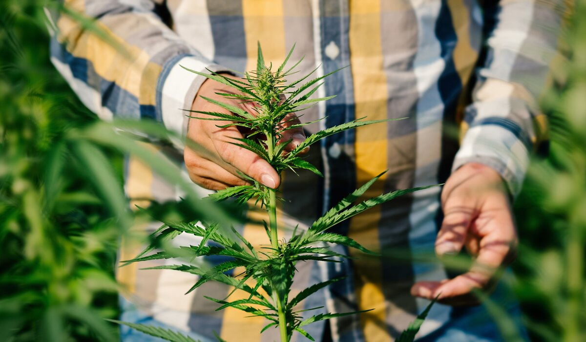 Cannabis is a Complicated Plant